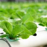 HIDROPONIJA ili budućnost poljoprivrede?