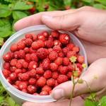Kako da uzgajate šumske jagode