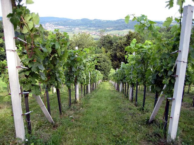 prelijepi-vinograd