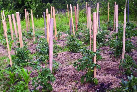 slamom paradajiz
