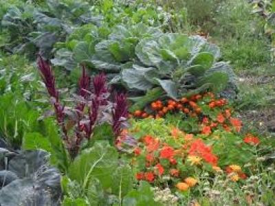 lekovito bilje u organskoj proizvodnji