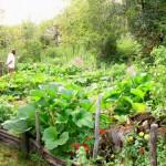Organska đubriva nejednako deluju na različito povrće