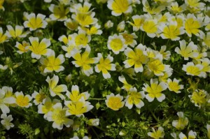4-Limnanthes-douglasii_thumb
