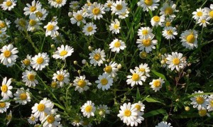 5-Camomile-flowers_thumb