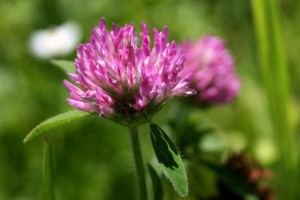 9-Red-Clover_thumb