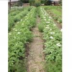 Povećajte prinos krompira EM-tehnologijom