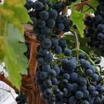 Napravite sami lekovito vino ili rakiju