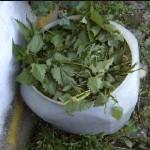 Kopriva za zaštitu biljaka u bio-vrtu