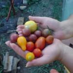 Zablude o paradajzu, treći deo (kraj?)