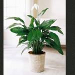 Kućne biljke – čuvari vašeg zdravlja