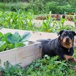 Vrtlarenje u slojevima bez kopanja – vrsta malčiranja