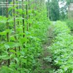 Dobiti više roda od posejanog pasulja